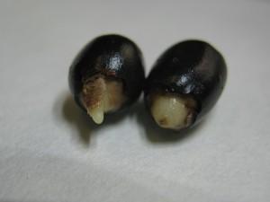 SemillaGA3+chip germinada (15d despues de la siembra) 5